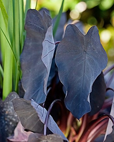 2 Black Magic Elephant Ears - In 4 Inch Cups (2 Pots of Plants)
