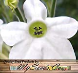WHITE NICOTIANA Flower Seeds - Jasmine Nicotiana alata - Fragrant Flowering Tobacco - Quality Non-GMO Seeds By MS.CO (10 Packets)