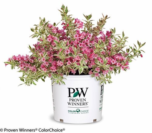 Proven Winners - Weigela florida My Monet (Weigela) Shrub, pink flowers, #3 - Size Container