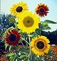David's Garden Seeds Sunflower Formula Mix SUN133IT (Multi) 100 Heirloom Seeds