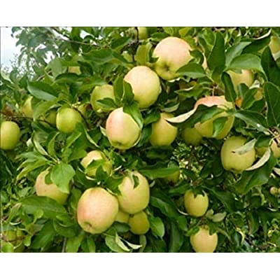 1 Plant Apple Tree 3 in One Cocktail 3 Ft Fruit Trees Outdoor Gardening tkonm : Garden & Outdoor