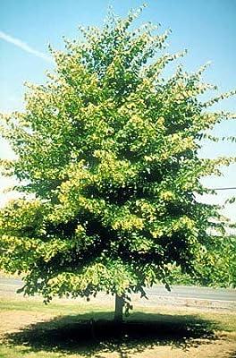 1 Starter Plant of Glenleven Linden