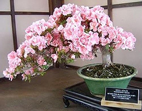 Prunus Serrulata Japanese Sakura Flowering Cherry Bonsai Tree Seed
