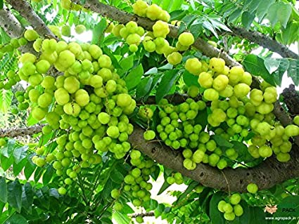 M-Tech Gardens Rare Star Gooseberry/Malay Gooseberry (Phyllanthus