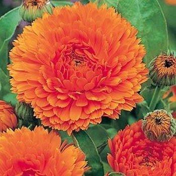 UPC 678482962163, Outsidepride Calendula Orange King - 1000 Seeds
