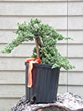 12 Bonsai Tree Plant Pre Bonsai Juniper Bonsai Tree