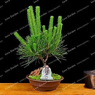 Pinkdose Pinus Thunbergii Bonsai Pino Bonsai Pinus Thunbergii Bonsai in Vaso Paesaggio Giardino di Casa 50 pz Pianta in Vaso