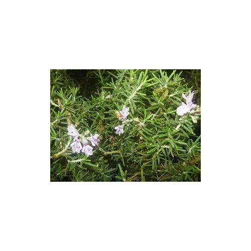 Pink Cascade Rosemary - Live Herb Plant