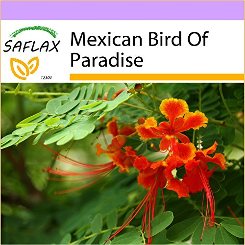 SAFLAX - Mexican Bird Of Paradise - 10 seeds - Caesalpinia pulcherrima (Care Of Mexican Bird Of Paradise Plant)