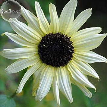 Pinkdose® 2018 venta caliente pequeño talian girasol blanco, 15 semillas, flores anuales ornamentales E3767: Amazon.es: Jardín