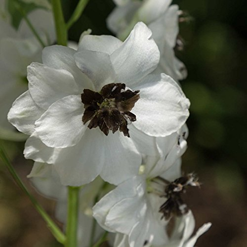 Delphinium Magic Fountain Series Flower Seeds - White Dark Bee - 1000 Seeds - Perennial Flower Garden Seeds - Delphinium elatum