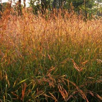 Native Grass Plants - Outsidepride Andropogon gerardii Big Bluestem Native Prairie Grass Seed - 1 LB