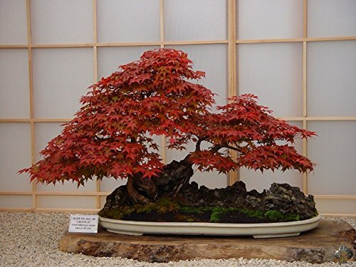 Japanese Red Maple Acer Palmatum Bonsai Tree Seeds