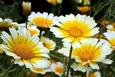1000 GARLAND CROWN DAISY Chrysanthemum Coronarium Flower Seeds
