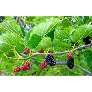 Delicious & Sweet & Tasty Fruit Bearing Red Mulberry Tree 2-3' Tall Potted Plant