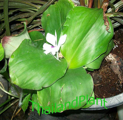 FERRY Organic Seeds:3 Rhizome of KAEMPFERIA GANGA, Green Leaves + Phytosanitiary ()