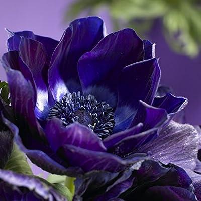 Van Zyverden Color Your Garden Blue Collection Flower Bulbs