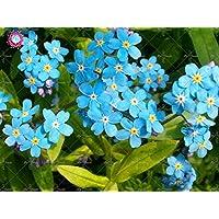 100 piezas Woodland No me olvides Myosotis Semillas Sylvatica Perennes Bonsai Flores semillas de plantas de interior La…