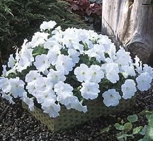 25 Pelleted Seeds Trilogy White Pelleted Petunia Seeds Garden Starts
