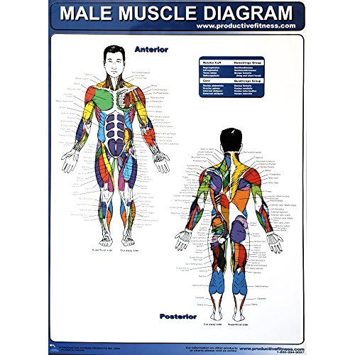 Productive Fitness Poster Series Male Muscle Diagram Laminated