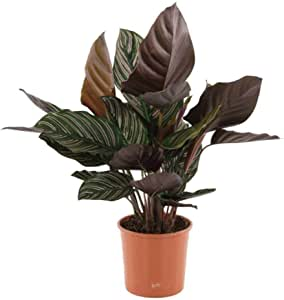 "AMERICAN PLANT EXCHANGE Calathea Ornata Pinstripe Prayer Live Plant, 6"" Pot, Indoor/Outdoor Air Purifier"