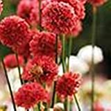 Ballerina Red Armeria 30 Seeds Fleuroselect Gold Medal Winner Takes Heat & Humid
