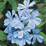 HEIRLOOM NON GMO Blue Plumbago 10 seeds