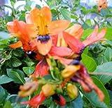 HUMMINGBIRD BUSH Unique Unusual Tropical Live Plant Orange Unusual Shaped Nectar Filled Flower Attract Hummingbirds Butterflies Emeralds TM