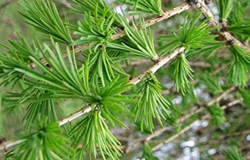 European larch Tree seedlings Unusual Hardy deciduous conifer bonsai LIVE PLANT