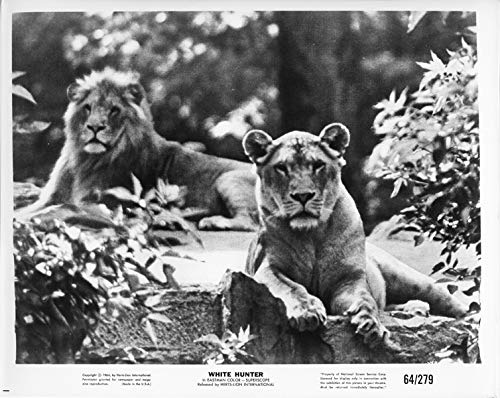 White Hunter original 1964 8x10 photo male and female lions