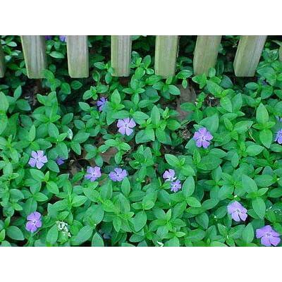 Vinca Minor Vine 50 Clumps/Plants 15-20 Leads Periwinkle Ground Cover : Garden & Outdoor