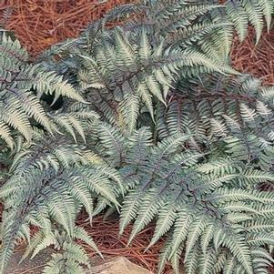 Amazon.com: Athyrium niponicum (goeringianum) Pictum ...