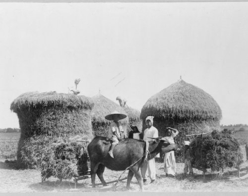 early 1900s photo Water buffalo pulling hay carts in Philippines, helped by c a1 (Vancouver Bar Cart)