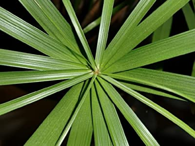 50 UMBRELLA PALM TREE Papyrus Sedge Cyperus Involucratus Seeds
