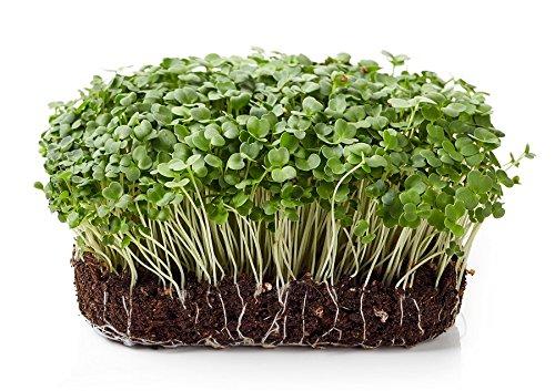 BIO - Semillas de brotes de cohetes - semillas orgánicas certificadas; Rúcula, E: Amazon.es: Jardín