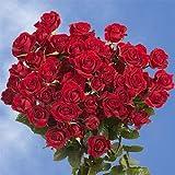GlobalRose 200 Fresh Cut Red Spray Roses - Fresh Flowers For Birthdays, Weddings or Anniversary.