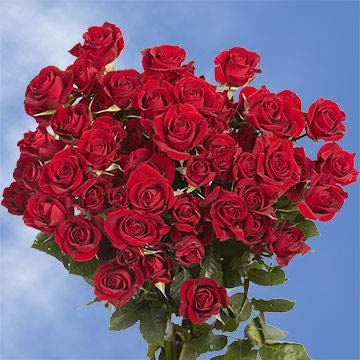 GlobalRose 200 Fresh Cut Red Spray Roses - Fresh Flowers For Birthdays, Weddings or Anniversary. by GlobalRose (Image #1)