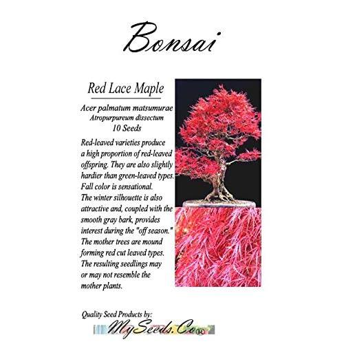 Red Lace Leaf Japanese Maple Acer Palmatum Matsumurae