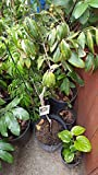 9EzTropical - Kohala Longan - Air Layer Tree - 3 Feet Tall