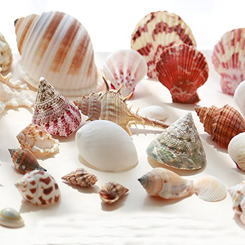 Gofypel Natural Beach Sea Shell Mixed Beach Seashells Various Sizes Real Sea Shell Craft Decorations For Vase Fillers Wedding Decor Beach Theme Party , Home Decorations,DIY Crafts, Fish - Sea Sheel