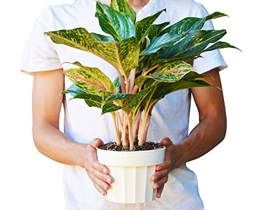 Plant Evergreen Chinese (Chinese Evergreen 'Sparkling Sarah' - Aglaonema - Live House Plant - FREE Care Guide - 6