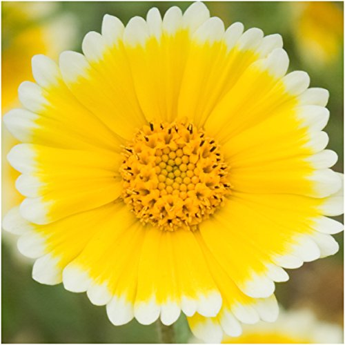 Package of 1,000 Seeds, Tidy Tips Seeds (Layia platyglossa) Open Pollinated Seeds by Seed Needs