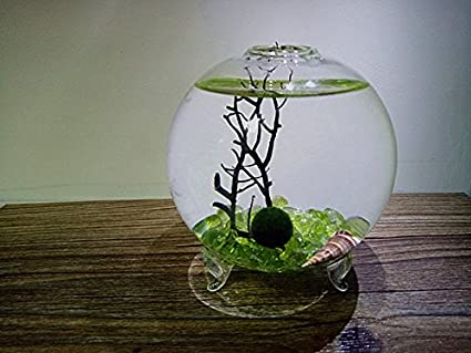 Amazon Com Newdreamworld S Marimo Live Globe Terrarium Kit 3 5