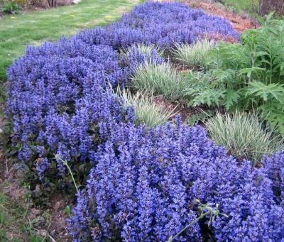 Classy Groundcovers - Bugleweed 'Chocolate Chip' 'Valfredda', A. tenorii {25 Pots - 3 1/2 in.} by Classy Groundcovers (Image #4)