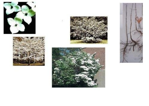 1 Kousa Dogwood Tree, 16+in, Fast Growing Flowering, Cream-White, Large Shrub