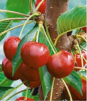 SeedsMarket Cherry Tree Seeds Fruit Bonsai Seeds Dwarf Cherry Tree Seed Planting Delicious Prunus Sweet Edible Fruit Plant Seeds