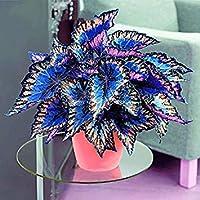 Visa Store 3: Davitu 100Pcs / Pack Semi Coleus Rainbow Dragon Seeds Giardino Giapponese Fogliame Piante - (Colore: 3)