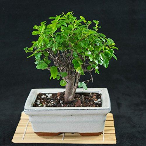 Plum Bonsai - 7