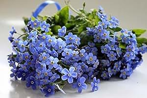 Alpine Forget Me Not Blue Seeds (Myosotis alpestris) Biennial Flowers