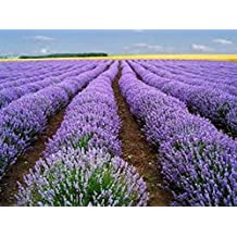 Organic Vera Lavender 25+ Herb seed Perennial This herb is mainly dried and used for sweet perfume sachets, potpourris and lotions